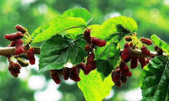 Mulberry Leaf Is Aimed Chiefly at Diabetes Mellitus